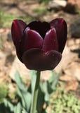 Oklahoma tulipany zdjęcie stock