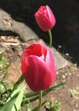 Oklahoma tulipany zdjęcia royalty free