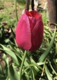 Oklahoma tulipany zdjęcia stock