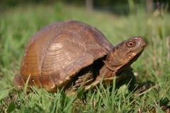 Oklahoma Turtle. A photograph of a turtle taken in Oklahoma Stock Photo