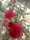 Роза Оклахома стоковые изображения