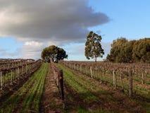 oklarhet över vingård Royaltyfri Foto