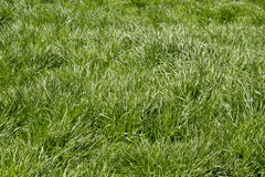 Oklippt gräs Arkivfoton