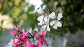 Okno dekorujący z bodziszków kwiatami zbiory wideo