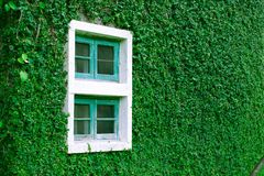 Okno na bluszcz ścianie Obraz Stock