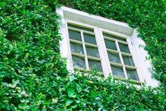 Okno na bluszcz ścianie Obrazy Royalty Free