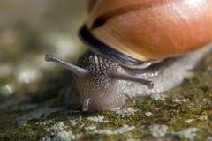 oko ślimaka łodygi Zdjęcia Royalty Free