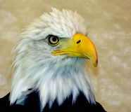 orła oko Fotografia Royalty Free