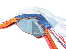 Oko anatomia ilustracja wektor