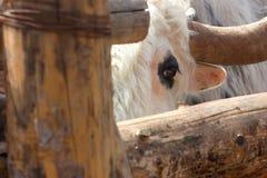 Oko bullock Fotografia Royalty Free