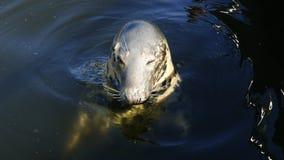 Oko foki Fotografia Stock
