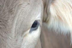 oko jest krowy Obraz Royalty Free