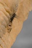 oko jest słonia Zdjęcia Royalty Free