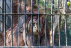 Oko kontakt z dużym pomarańczowym orangutan zdjęcie stock