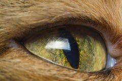 Oko kotów zakończenie Obraz Stock