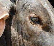 Oko krowy Obrazy Stock
