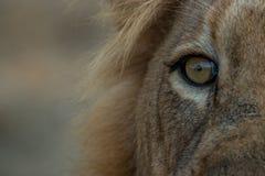 Oko Męski lew w Kruger parku narodowym Fotografia Stock