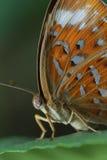 Oko motyl Zdjęcie Stock