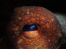 oko ośmiornica Fotografia Royalty Free