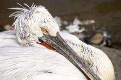 Oko pelikan Obrazy Royalty Free