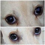 Oko pies zdjęcia royalty free