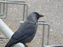 Oko wrona Zdjęcie Royalty Free