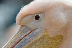 Oko zamknięty biały pospolity pelikan up Fotografia Stock