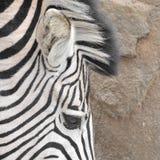 oko zebra Zdjęcie Stock