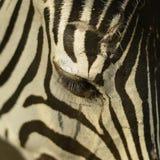 Oko zebra - zbliżenie Obraz Royalty Free