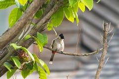 Okopcony głowiasty bulbul, pieśniowy ptak z czerni głową, czerwony wentylaci perchin Fotografia Stock