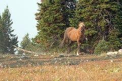 Okopcony Palomino ogiera dzikiego konia bieg na grani w Pryor gór Dzikiego konia pasmie w Montana usa Fotografia Stock