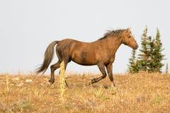 Okopcony Palomino ogiera dzikiego konia bieg na grani w Pryor gór Dzikiego konia pasmie w Montana usa Zdjęcia Stock
