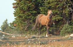 Okopcony Palomino ogiera dzikiego konia bieg na grani w Pryor gór Dzikiego konia pasmie w Montana usa Zdjęcie Royalty Free