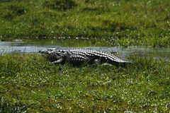 Okovango Delta Crocodile Stock Photography