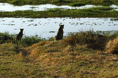Okovango Delta Leopard & Cub Royalty Free Stock Image