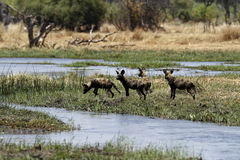 Okovango Delta Wild Dogs. African wild dogs are carnivorous foragers Stock Photography