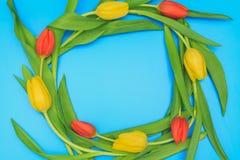 Okrąg czerwoni i żółci tulipany na błękitnym pastelowym tle Zdjęcia Royalty Free
