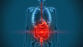 Okrężnicowi żołądków organy ilustracja wektor