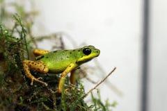 Okrężnicowy jad strzałki żaby polowanie obraz stock