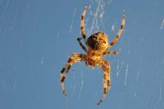 okręgu pająka tkacz Zdjęcia Royalty Free