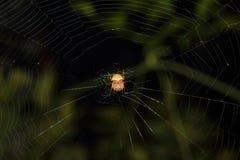 Okręgu tkacza pająk Fotografia Royalty Free