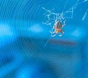 Okręgu tkacza pająk po środku ich sieci z błękitnym tłem obrazy royalty free