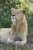 Okręt podwodny dorosły, Męski Afrykański lew Tanzania (Panthera Leo) Zdjęcie Royalty Free