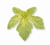 Okra Abelmoschus Esculentus blad som isoleras på vit bakgrund Royaltyfri Fotografi