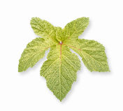 Okra,Abelmoschus Esculentus leaf isolated on white background Royalty Free Stock Photography
