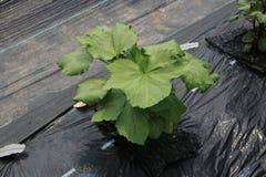 Okra cultivation Royalty Free Stock Photos