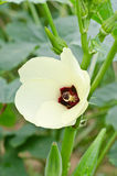 Okra flower Royalty Free Stock Photography