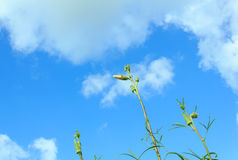 Okra flower Royalty Free Stock Photography