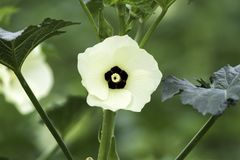 Okra flower, day, isolated on plant with few leaves, white petals with black centre and pale yellow stemen. Okra flower in daylight with isolted flower head royalty free stock photo
