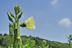 Okra and flower. Stock Images